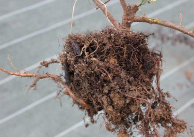 2014-01-09-2nde-ap-plantation-cotoneaster-03