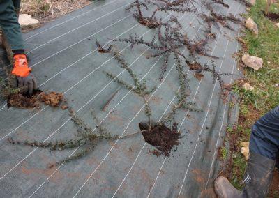 2014-01-09-2nde-ap-plantation-cotoneaster-04